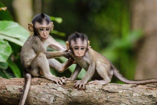 Scimmie clonate